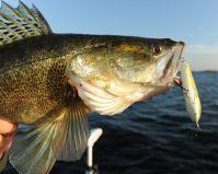 Zander sind sehr beliebte Guidingfische, aber nicht immer leicht zu fangen...