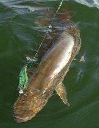 Gummiköder könnten zäh laufen, wenn die Fische im Kraut stehen . . .