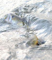 Zander-Action findet häufig im Freiwasser statt!