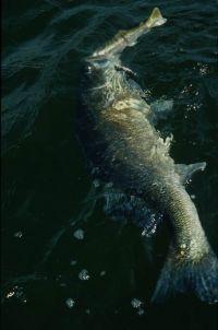 Zander beißén im Möhnesee gut auf große Schleppköder!